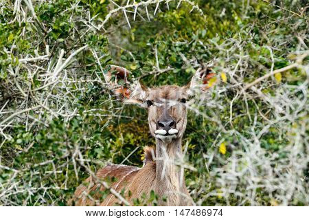 Hiding From The Cameras - Greater Kudu - Tragelaphus Strepsiceros