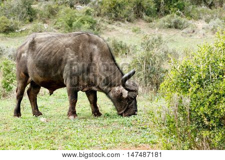 Smelling The Grass - African Buffalo Syncerus Caffer