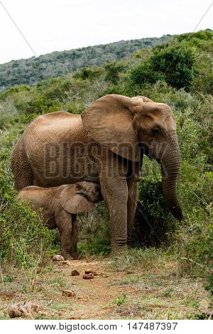 Mom And Baby - African Bush Elephant
