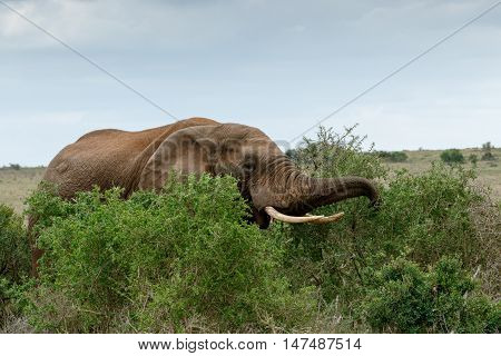 Eating Time - African Bush Elephant