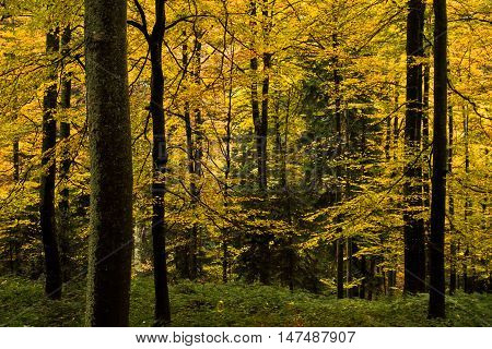 Autumn colors of a forest at mountain Goc in Serbia