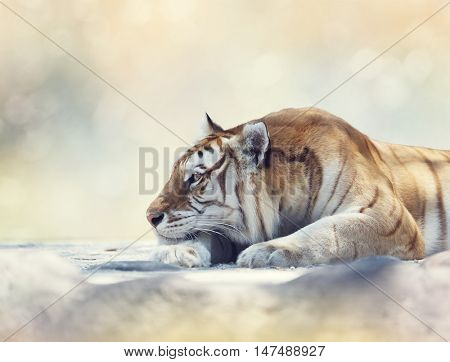 Tiger resting on a rock, close up