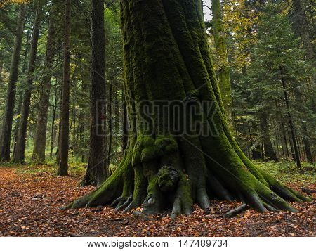 Roots of a big tree in an autumn forest scene at mountain Goc in Serbia