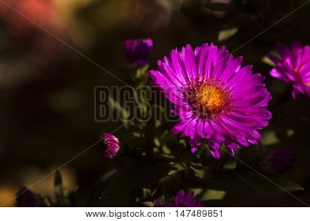 michaelmas daisy or the new york aster