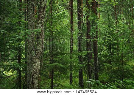 wet green summer forest of karelia, untouched nature