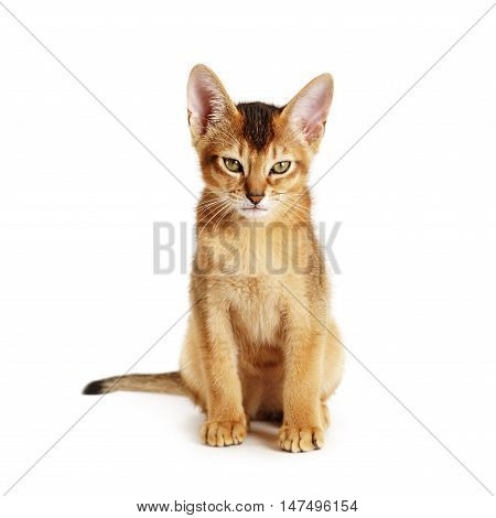 wild color abyssinian kitten 3 month sitting on white background looking to camera, isolated