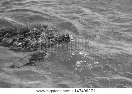 Green turtle at sea surface, Similan Island, Thailand