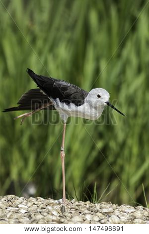 Black-winged stilt standing on one (very long spindly) leg. It looks rather like it is doing ballet in arabesque pose!