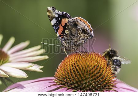 Insects pollinating an Echinacea flower. Macro snapshot of nature in a summer garden.