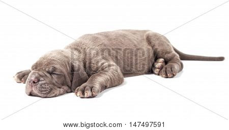 Sleeping young puppie italian mastiff cane corso (1 month) on white background.