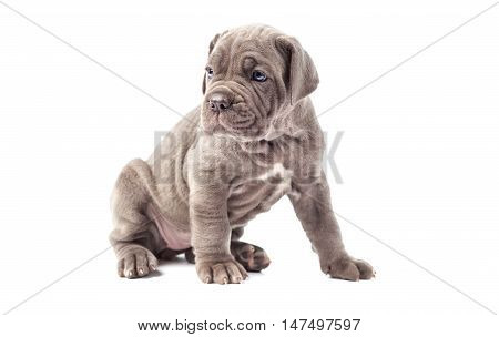Beautiful young puppy italian mastiff cane corso (1 month) on white background