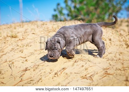 Beautiful young puppy italian mastiff cane corso (1 month) moves on the sand.