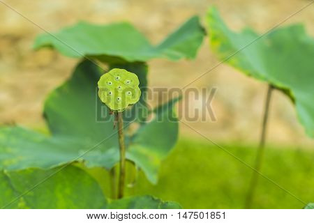 yellow green lotus leaf, vein detail pattern for nature background, lotus which leaf fall and green calyx