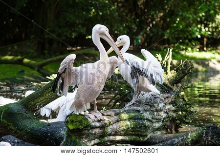 Great White Pelican on the tree in forest