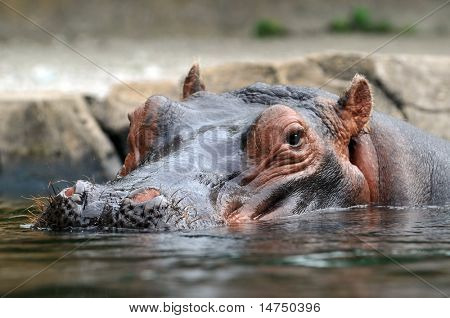 Head of hippopotamus partially submerged in water