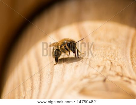 A close up portrait of a bee on a peice of wood in sunlight.