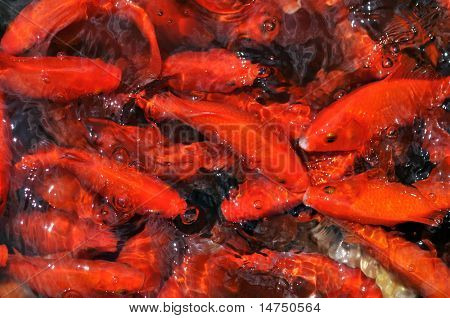 Goldfish swimming in a pond