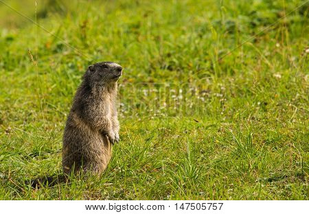 A marmot standing on its hind legs in a grassy meadow in the Swiss alps.