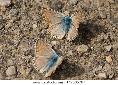 Two chalkhill blue butterflies native to Europe and west asia. These two have blue bodies and grey wings.