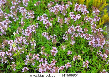 Wild thyme on the meadow. Flowers background