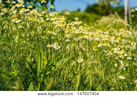 medical daisy growing in the meadow  summer