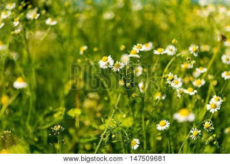medical daisy  herb growing in the meadow