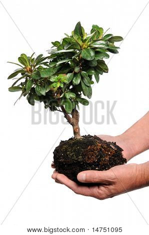 Man's hands holding tree and soil isolated over white background