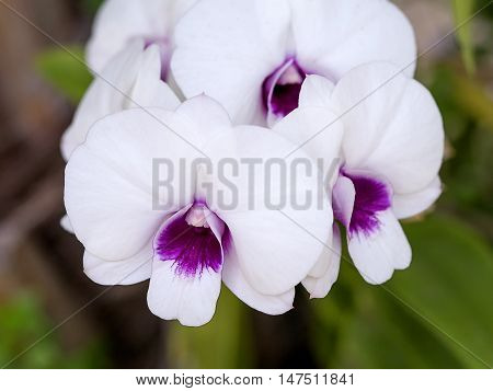 Phalaenopsis,purple orchid. Aged photo. Beautiful white orchid flowers close up. Floral photo. Orchid in a Botanical garden. Orchid in nature. Selective focus.
