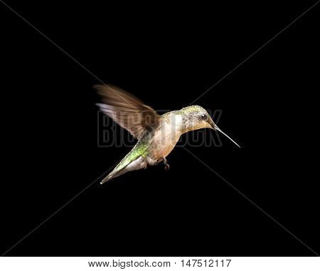 Female ruby-throated hummingbird in flight and isolated on a black background. Close up image with vivid colors and significant detail.