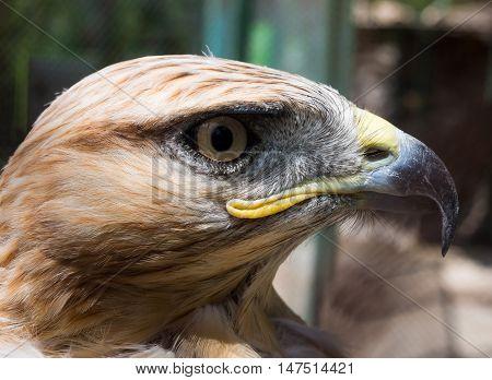 Steppe Eagle head in profile close -up