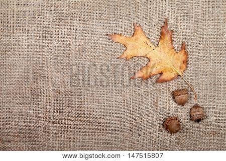 Autumn Dried Leaf Of Oak And Three Acorns On Sackcloth