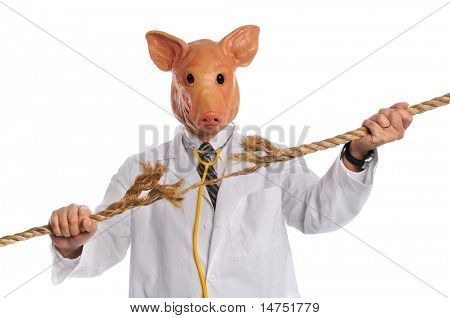 Swine Flu epidemic concept with pig dressed as doctor breaking frayed rope