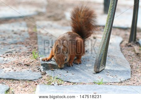 Squirrel. Animal in botanical garden. Park. Brown.