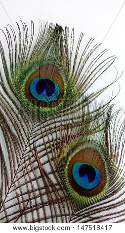 beautiful peacock feathers with close detail features