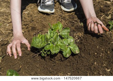 Woman planting strawberry bush in spring in garden