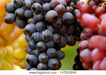 Bunches of grapes closeup. Photos of the grape