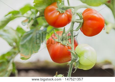 The red and green tomatoes on the bush in the greenhouse