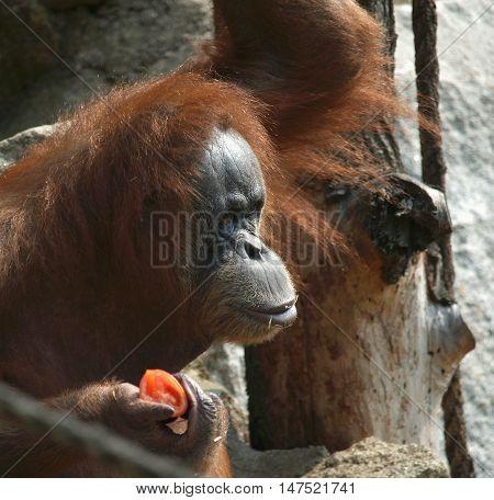 Portrait of eating bornean orang-utan (Pongo pygmaeus)