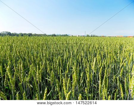 Many immature wheat crops on field during spring