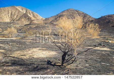 Burned Sage Brush In Savanna