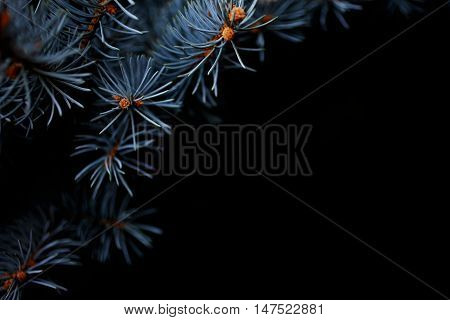 Branches of blue picea pungens 'Glauca Globosa' close up. Winter holiday Christmas concept silver spruche on black background.