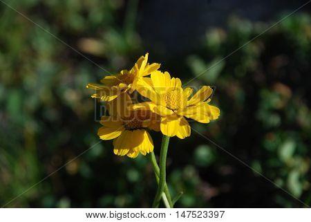 Sarı papatyalar sarı ve yeşilin yoğunluğunda güneşle birlikte sarılıp koklaşıyorlar
