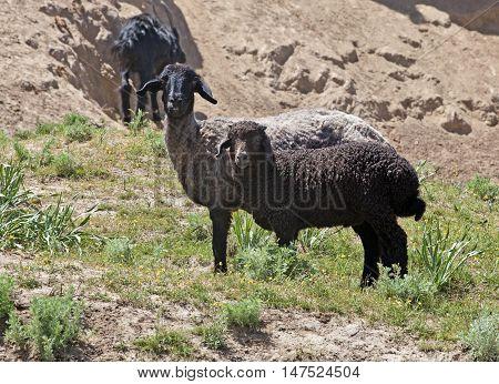 Black sheep on pasture in Nuratau mountains, Uzbekistan