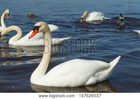 A lot of Swans on the river