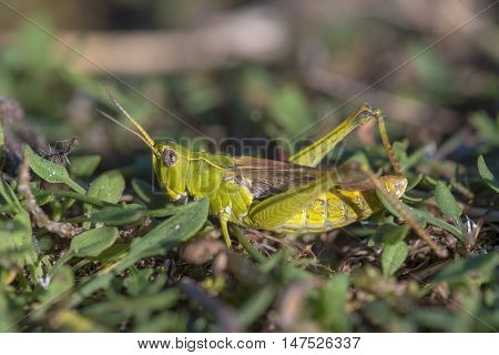 Bow-winged Grasshopper (Chorthippus biguttulus) resting on the ground on the vegetation