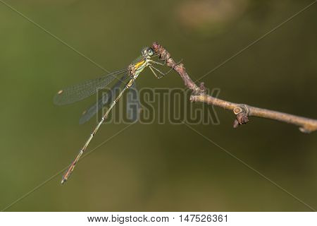 Western Willow Spreadwing (Lestes viridis) resting on a Twig