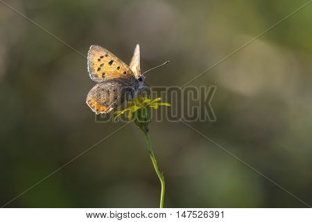 Small Copper (Lycaena phlaeas) butterfly extracting nectar from a Flower with open Wings