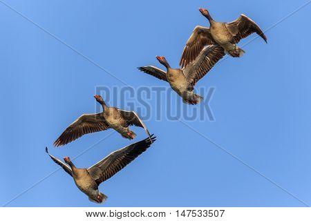 wild greylag geese in flight. Danube Delta Romania