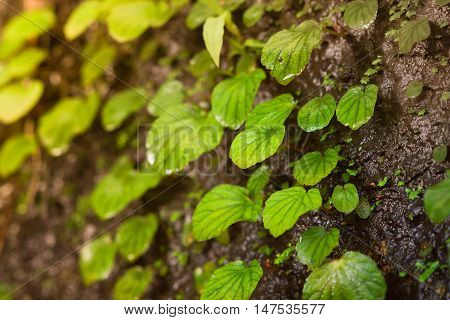 Green creeper plants on rock / BEGONIACEAE / Begonia sp.
