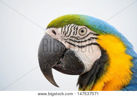 Portriat Blue-and-yellow Macaw - Ara Ararauna
